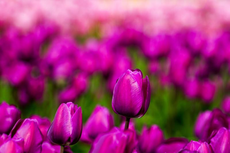 Skagit Valley Tulip Festival in Washington