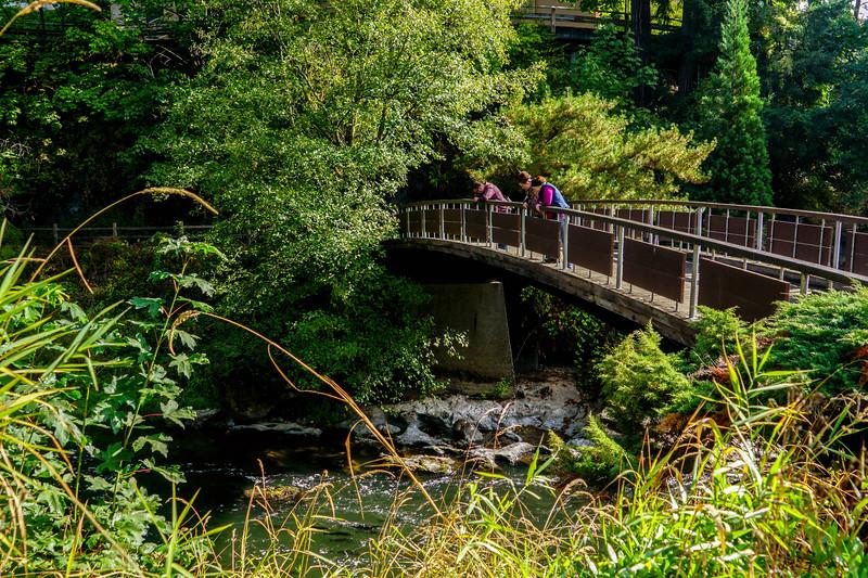Salmon Running at Tumwater Falls in Washington