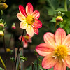Dahlia flowers in Washington