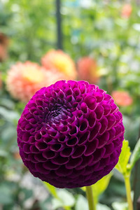 Dahlia flowers in Washington