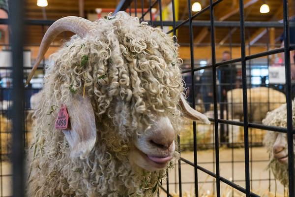 Shaggy Goat at Puyallup Fair