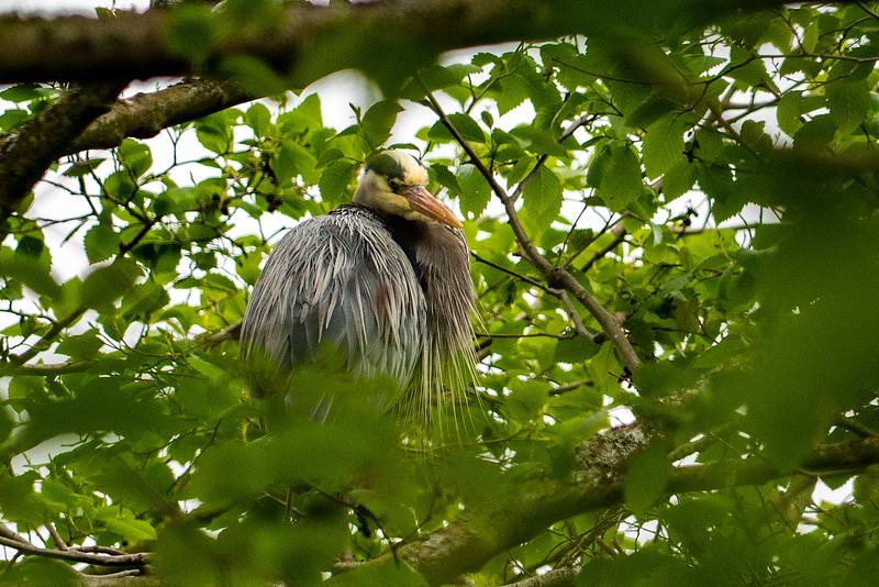 Great Blue Heron in Seattle, WA