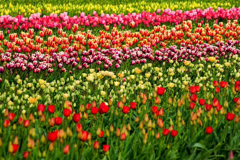 Skagit Valley Tulip Festival in Washington