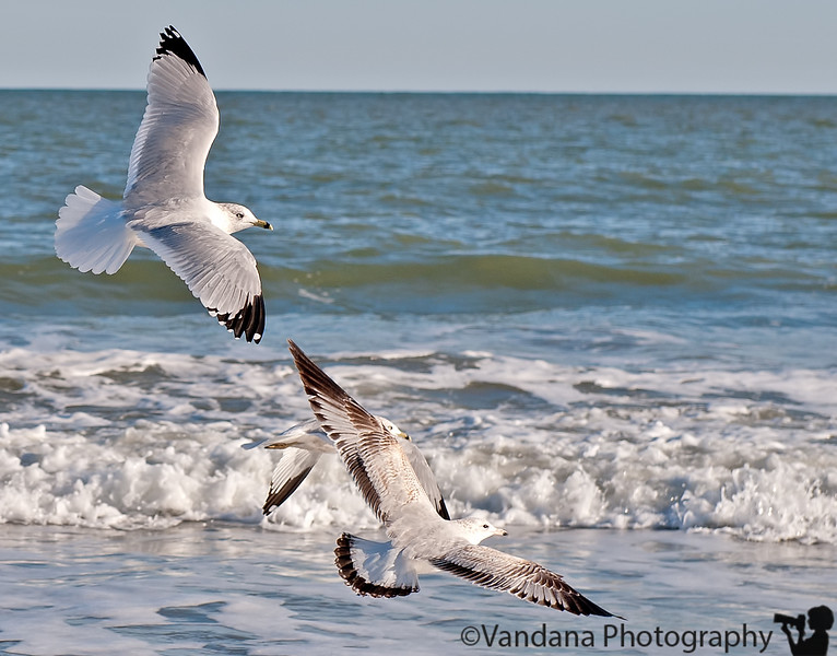 January 29, 2012 - Seagulls in flight, Edisto beach, SC<br /> <br /> taken with a 24-70mm, am surprised and pleased with wing details with a wide-angle lens !