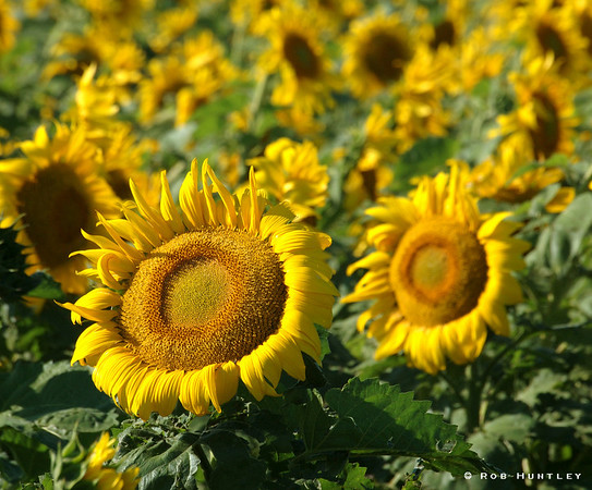 Sunflowers along Hwy 14 east of Pierre, South Dakota. © Rob Huntley