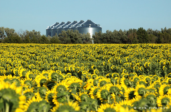 Sunflowers with silos in the background along Hwy 14 east of Pierre, South Dakota. © Rob Huntley