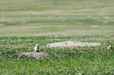 Prairie dog in Badlands National Park
