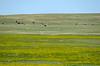 Grazing buffalos in the Badlands Wilderness Area along Sage Creek Road, Badlands National Park, SOuth Dakota, USA