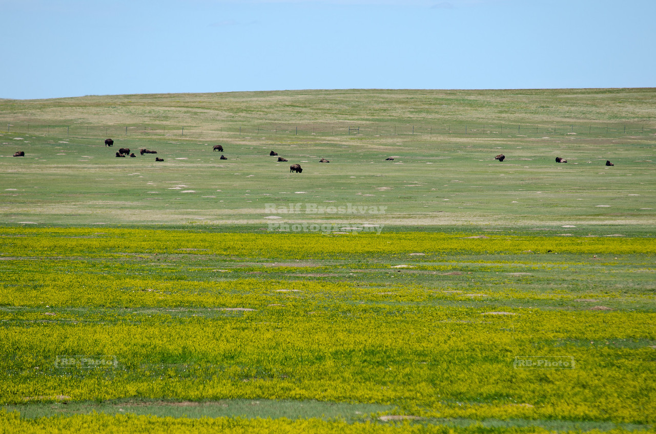 Grazing buffalos in the Badlands Wilderness Area along Sage Creek Road, Badlands National Park, SOuth Dakota, USA