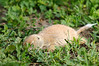 Don't look at me; I'm dead.<br /> If you surprise a prairie dog and get too close before they notice you, they come to an instant stop and just play dead. Hilarious