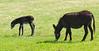 Donkeys in Custer State Park, Black Hills, South Dakota, USA
