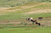 A group of wild donkeys, called the Begging Burros, on the wildlife loop in Custer State Park, South Dakota, USA