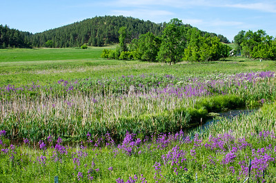 River valley with blooming flowers in the Black Hills, South Dakota, USA