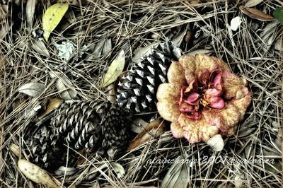 La rose aux cônes