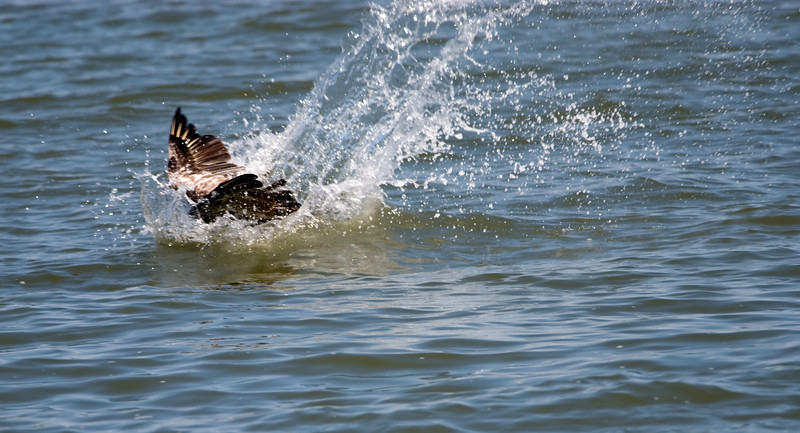 a pelican plunge to catch a fish !