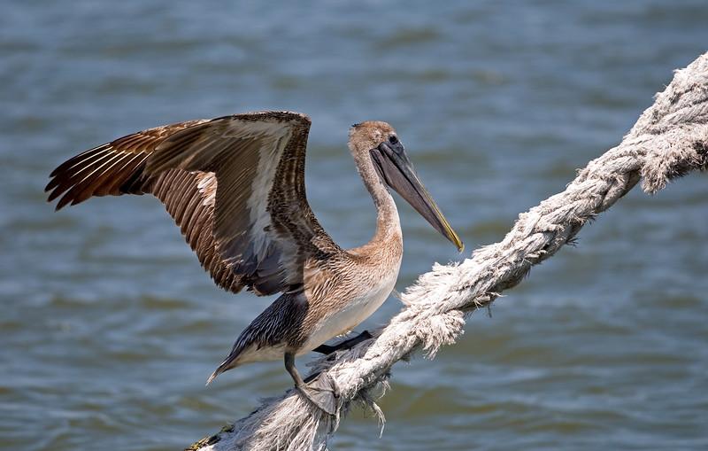 Pelican take-off to happen..