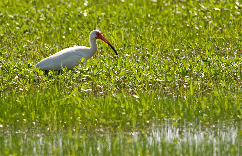 Ibis in the bright greens