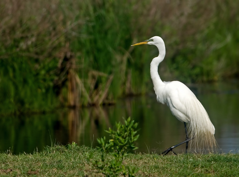 Egret watch in Anahuac National Wildlife refuge, TX