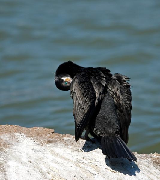 cormorant gives the blue eye~