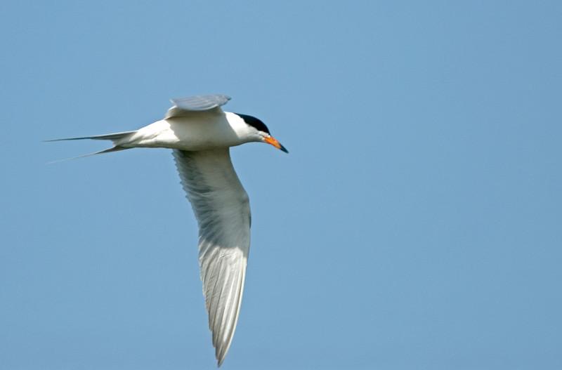 tern ? in flight