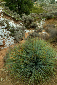 © Joseph Dougherty.  All rights reserved.    Whipple's Yucca (Yucca whipplei) with thin drifts of snow beside a shallow arroyo after a late winter storm in the southern California Coastal Range.  Yucca whipplei (syns. Hesperoyucca whipplei (Torr.) Baker,  Yucca newberryi McKelvey) is also commonly known as chaparral yucca, Our Lord's Candle, Spanish bayonet, Quixote yucca, common yucca, or foothill yucca.