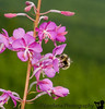 Another macro - Bee on fireweed on twin peaks trail