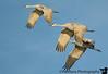 Sandhill crane at Bosque Del Apache National Wildlife Refuge, NM