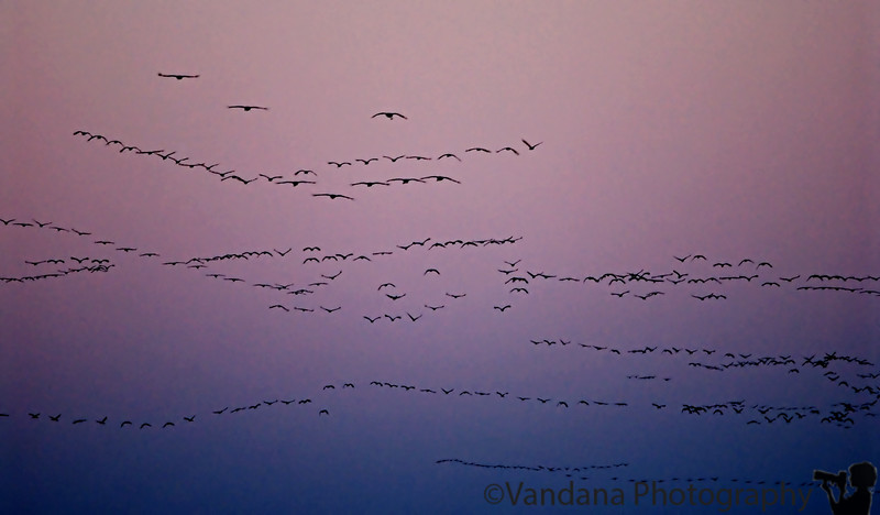 Sandhill crane migration, Bitterlake National Wildlife Refuge, Roswell, New Mexico