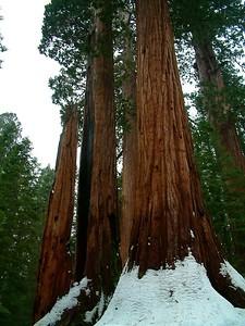 Sequoia park - Le sequoie: non è facile percepire la dimensione...