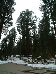 Sequoia park - Le sequoie: non Ë facile percepire la dimensione... 2004-03-05 at 22-30-06