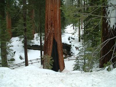 Sequoia park - Le sequoie: non Ë facile percepire la dimensione... 2004-03-05 at 22-26-37