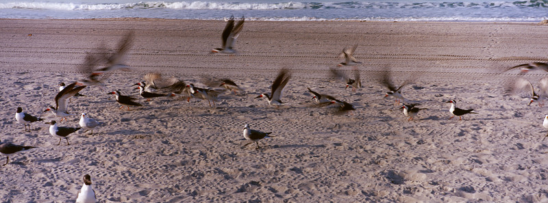 Skimmers and gulls, Sarasota beach