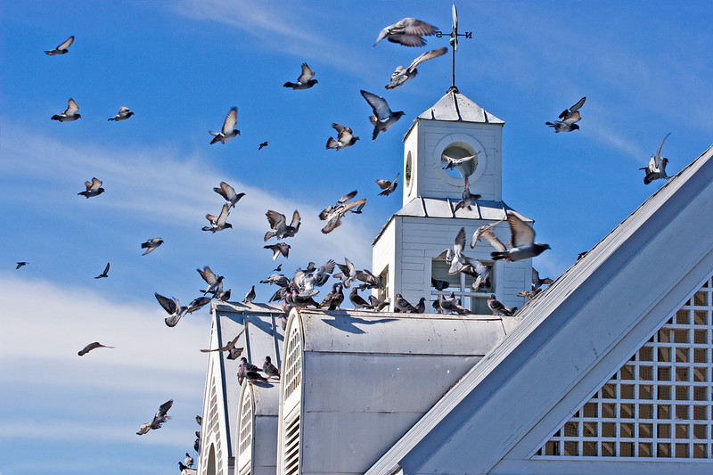 Pigeons landing in Pier House in Charleston House, Charleston, South Carolina