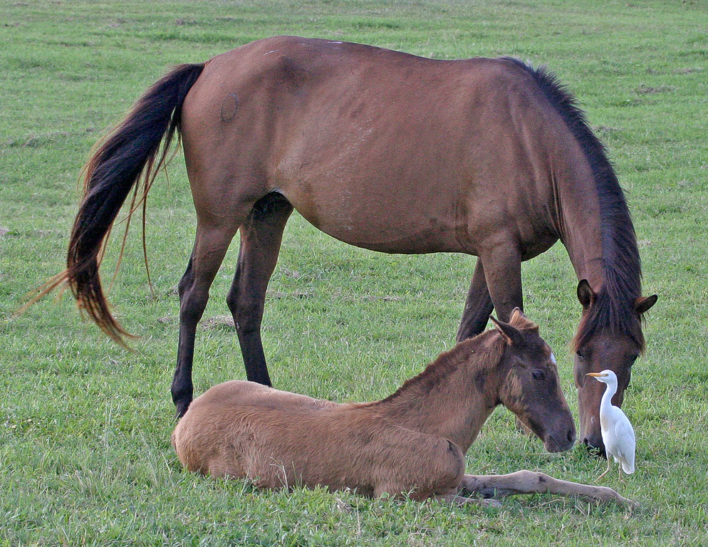 Mother with pony being de-thicked by cattle egret in Vieques Island, Puerto Rico