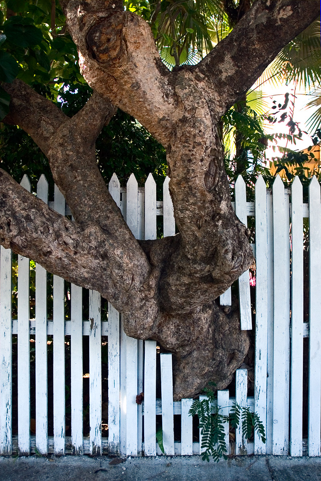 Tree growing through fence in Key West, Florida.