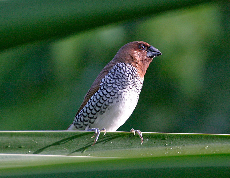 Another finch in Vieques Island, Puerto Rico