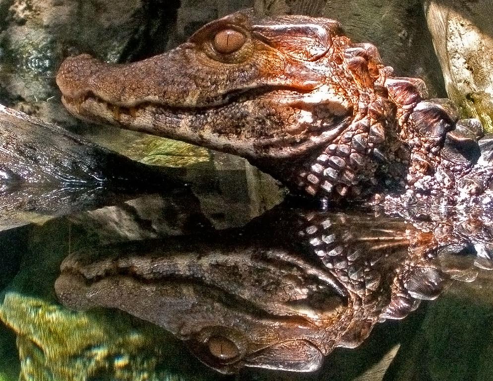 Croc at the Chicago Aquarium.