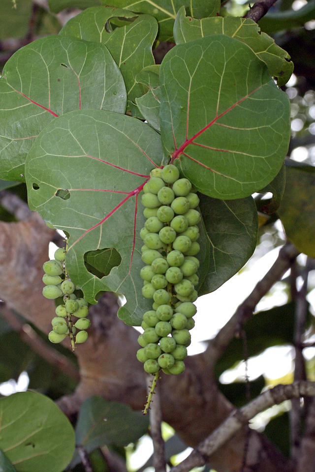 Huva Caleta or Sea Grape in Vieques Beach, Puerto Rico.