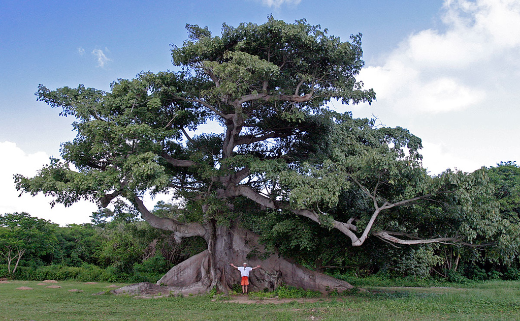 Huge Ceiba tree in Vieques Island, Puerto Rico.
