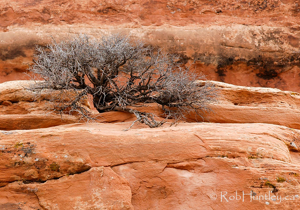 Dead bush in Arches National Park, Utah © Rob Huntley