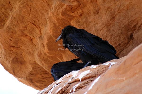 Ravens near Delicate Arch
