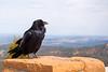 Raven at Ponderosa Point