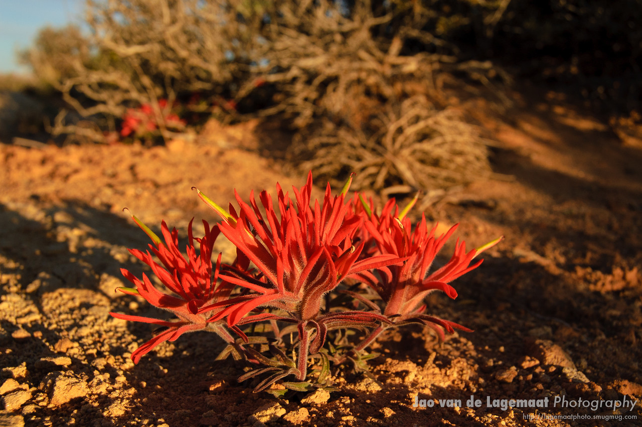 Desert Paintbrush