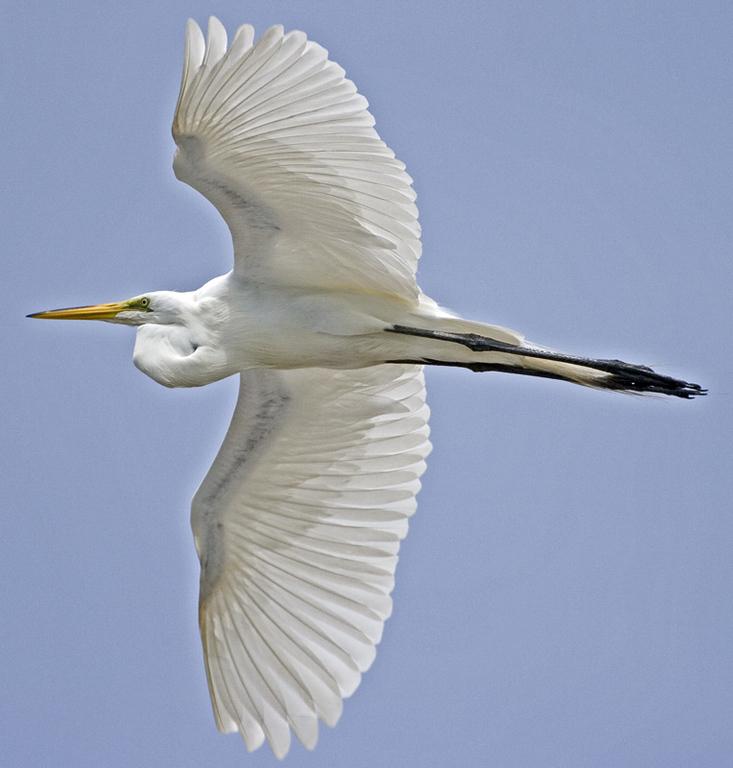 American egret flying over Hampton Waterfront.