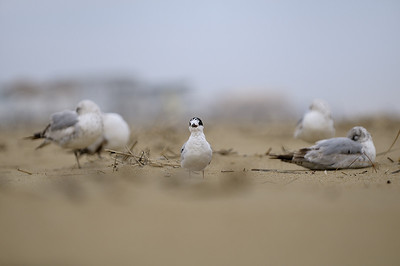 Virginia Beach, VA; Sterne relaxant sur la plage / Tern relaxing on the beach