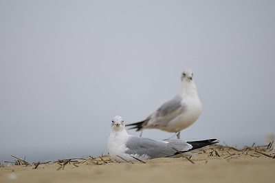 Virginia Beach, VA; Goéland relaxant sur la plage / Gull relaxing on the beach