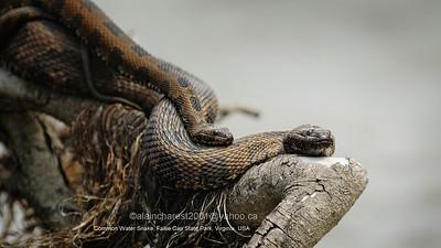 False Cape State Park, Virgina, USA; Nerodia sipedon sipedon / Common Water Snake / Couleuvre d'eau