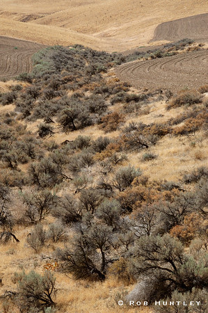 Sagebrush occupying the valley between two adjacent fields south of Mabton (Glade Road), Washington.  © Rob Huntley