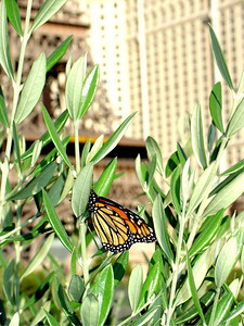 Butterfly overlooking Paris Hotel on the Strip