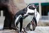 Humboldt Penguin in Milwaukee County Zoo